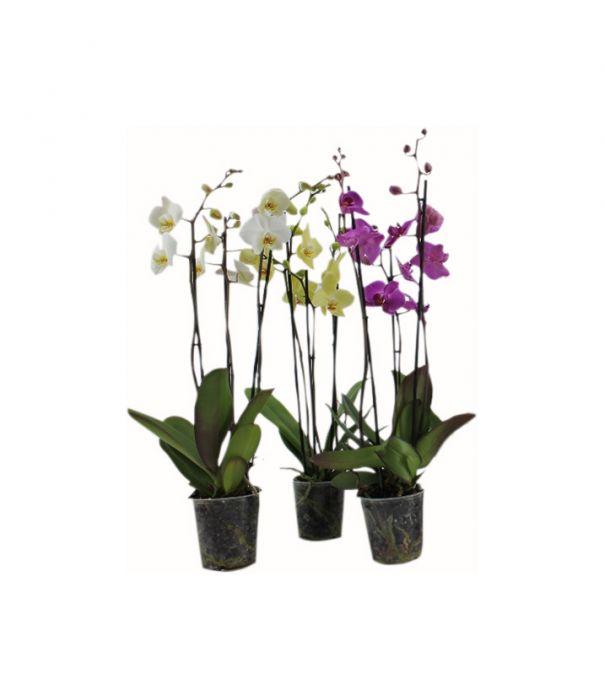 Perhoskämmekkä Phalaenopsis mix