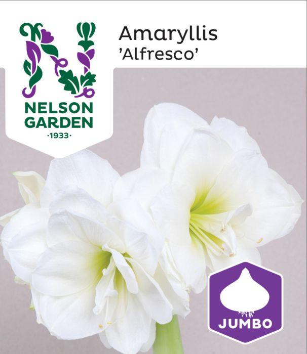 Amaryllis 'Alfresco' suuri sipuli 1 kpl