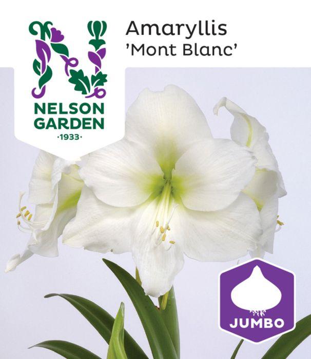 Amaryllis 'Mont Blanc' suuri sipuli 1 kpl