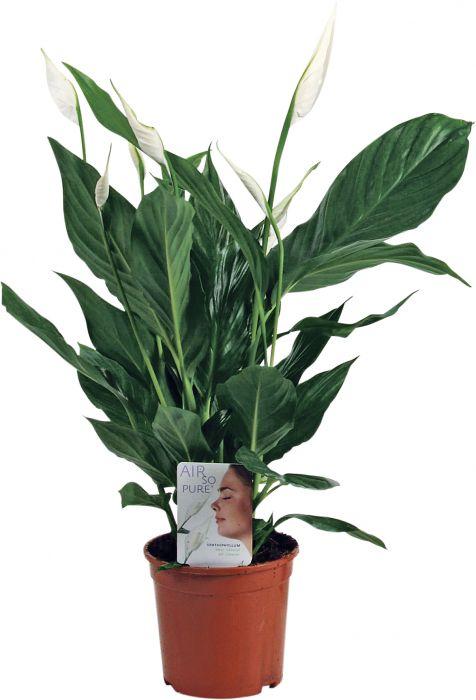 Viirivehka Spathiphyllum P13
