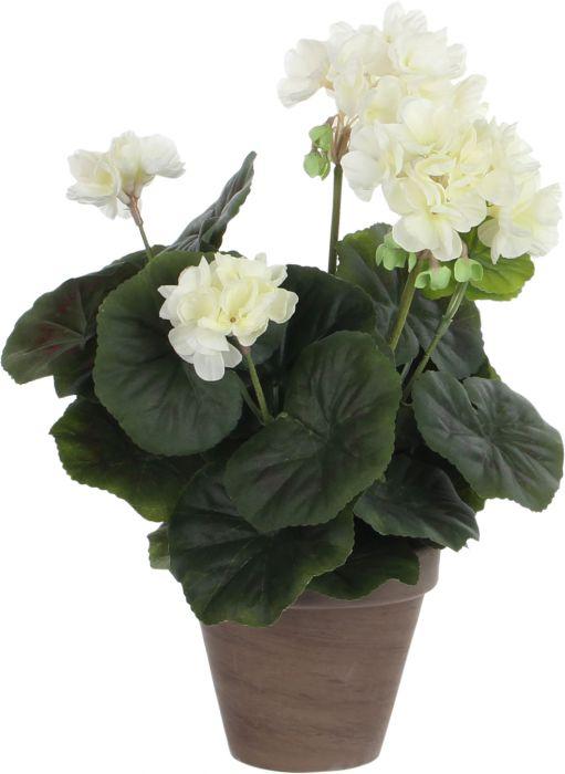 Silkkikasvi pelargonia P11,5 cm luonnonvalkoinen