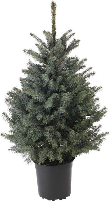 Sinikuusi Picea Pungens 80-100 cm