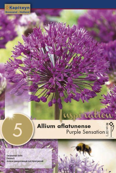 Syyskukkasipuli Ukkolaukka Aflatunense Purple Sensation 5 kpl
