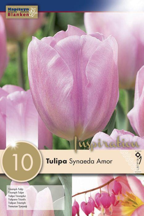 Syyskukkasipuli Tulppaani Synaeda Amor 10 kpl