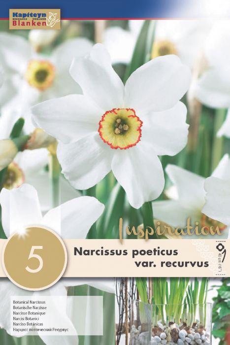 Syyskukkasipuli Narsissi Poeticus Recurvus 5 kpl