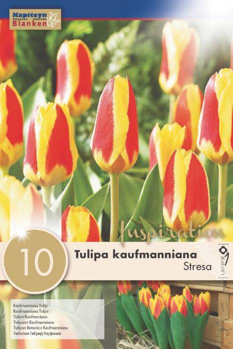 Syyskukkasipuli Tulppaani Kaufmanniana Stresa 10 kpl