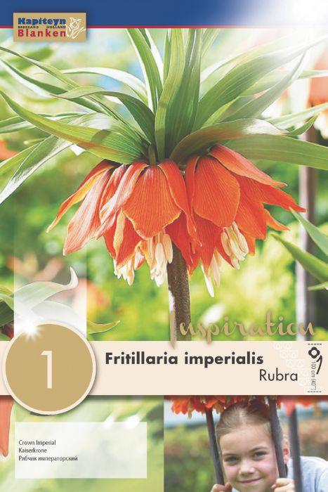 Syyskukkasipuli Keisarinpikarililja Fritillaria Imperialis Rubra 1 kpl