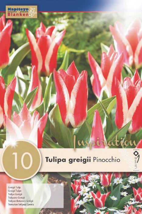 Syyskukkasipuli Tulppaani Greigii Pinocchio 10 kpl