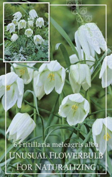 Syyskukkasipuli Kirjopikarililja Fritillaria Meleagris Alba 6 kpl