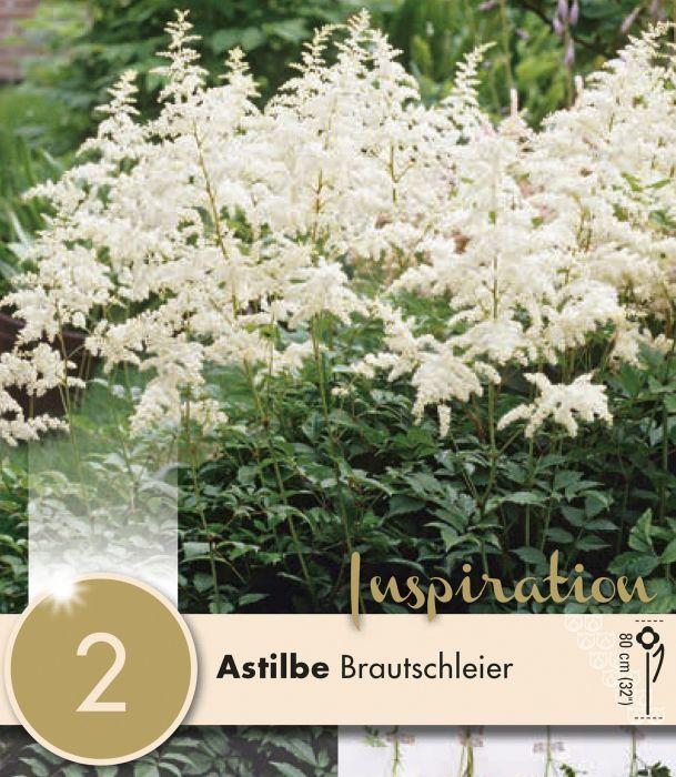 Kevätkukkasipuli Astilbe Brautschleier 1 kpl