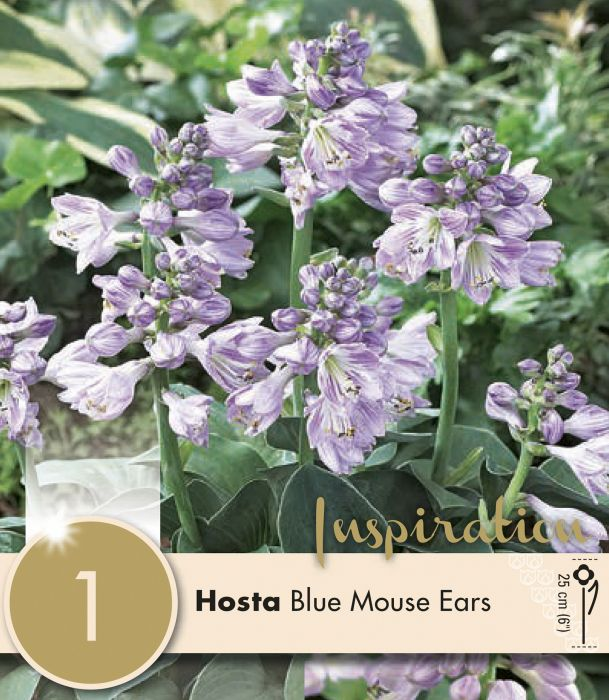 Kevätkukkasipuli Hosta Blue Mouse Ears