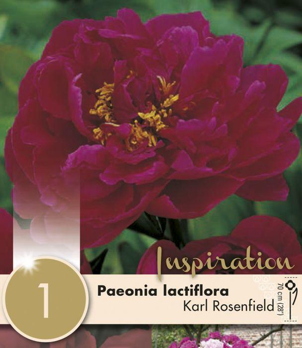 Kevätkukkasipuli Paeonia Lactiflora Karl Rosenfield 1 kpl