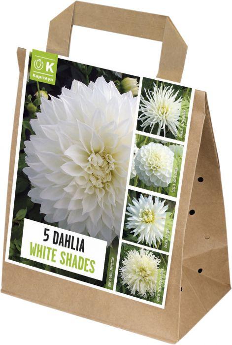 Kevätkukkasipuli Dahlia Shades of White 5 kpl