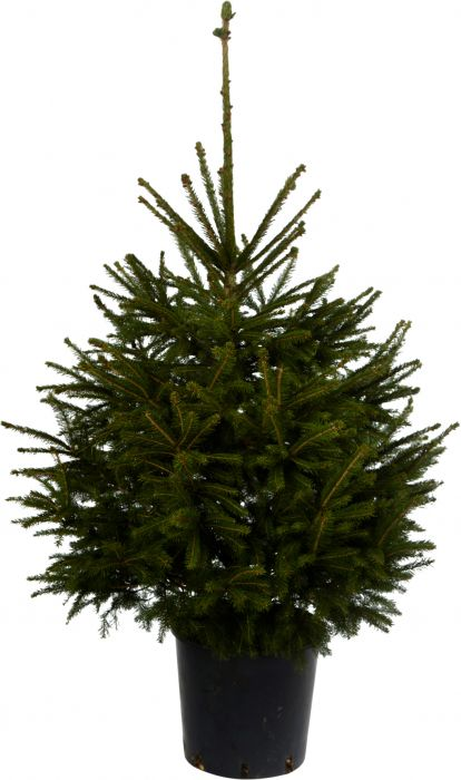 Metsäkuusi Picea Abies 100-125 cm