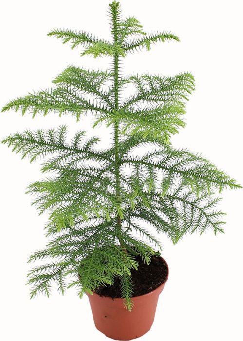 Huonekuusi Araucaria Heterophylla P15