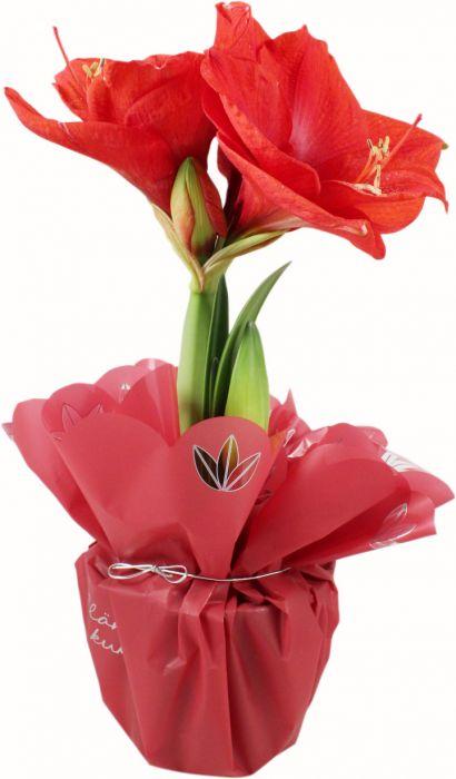 Amaryllis punainen