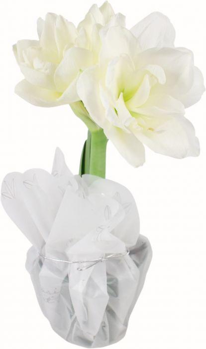 Amaryllis valkoinen