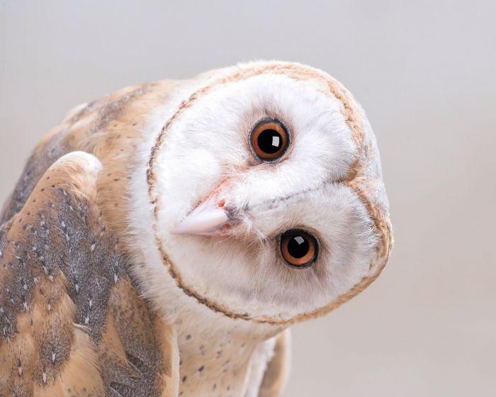 SIsustustaulu Reinders Barn Owl