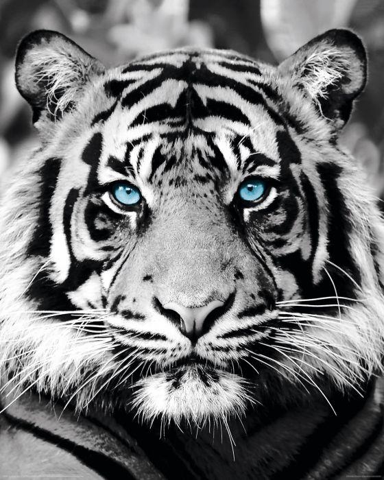 Sisustustaulu Reinders Blue Eyed Tiger