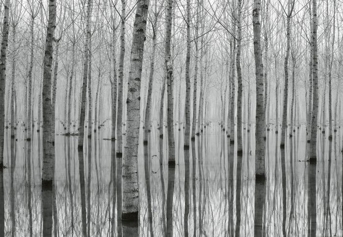 Fototapetti Birch Forest In The Water 4 paneelia