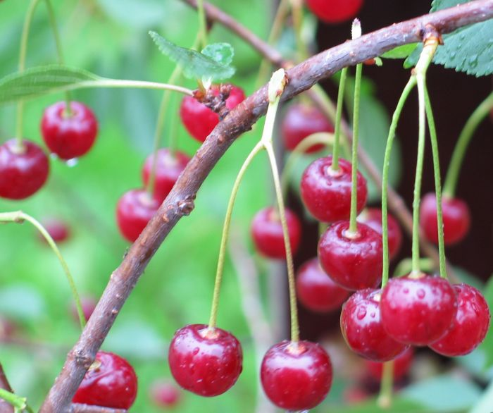 Pensaskirsikka Prunus Cerasus Latvian matala