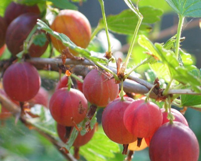 Karviainen Ribes Uva-Crispa Lepaan punainen