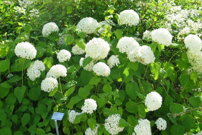 Pallohortensia Hydrangea Arboresce Annabelle