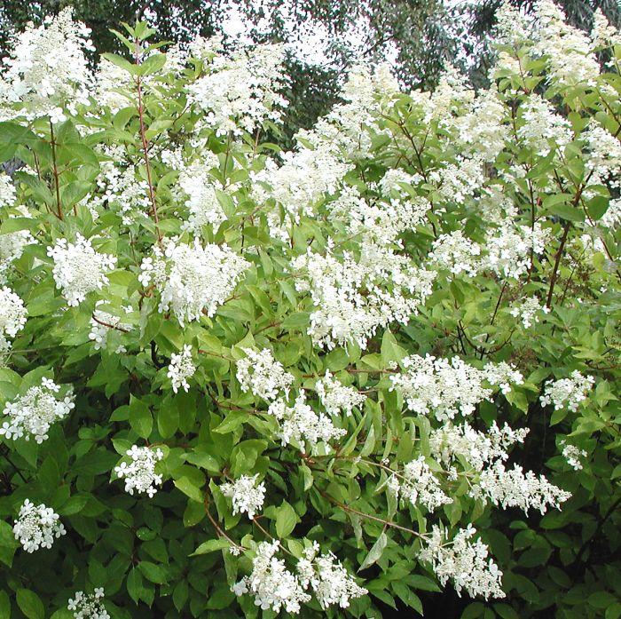 Mustilanhortensia Hydrangea Paniculata