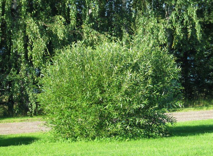 Terijoensalava Salix Fragilis Bullata