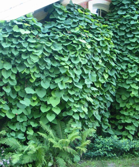 Piippuköynnös Aristolochia Macrophylla