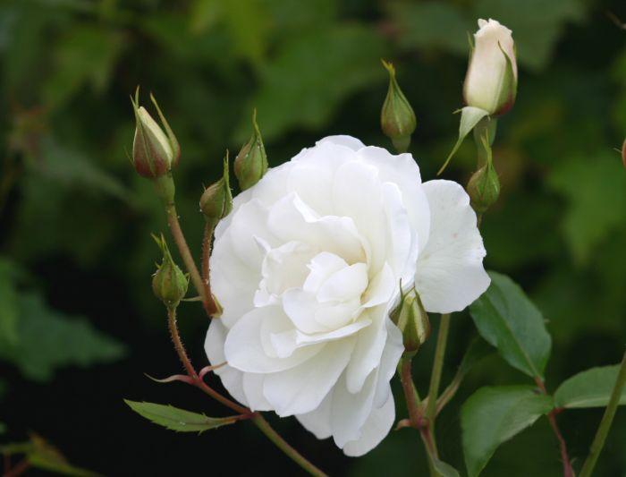 Ryhmäruusu Rosa Schneewittchen 1 kpl