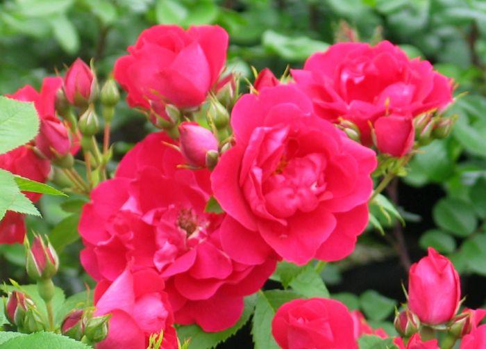 Köynnösruusu Rosa Flammentanz 1 kpl