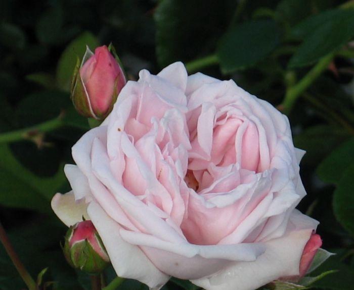 Köynnösruusu Rosa The New Dawn 1 kpl