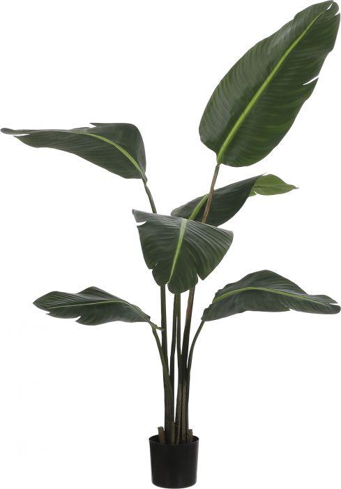 Silkkikasvi Strelitzia 130 cm