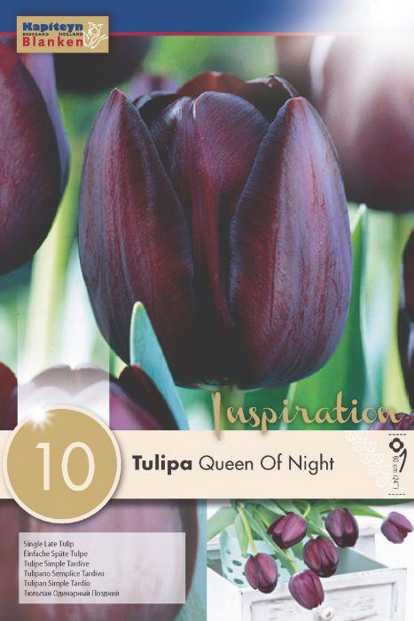 Syyskukkasipuli Tulppaani Single Late Queen of Night 10 kpl