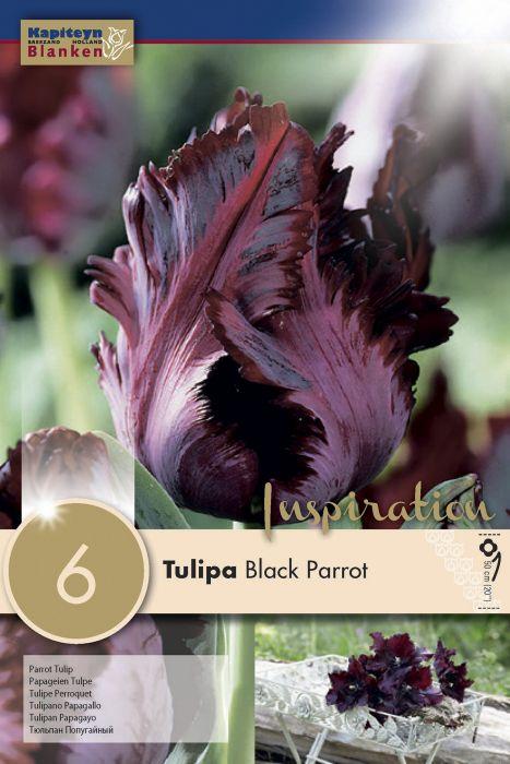 Syyskukkasipuli Tulppaani Black Parrot 6 kpl