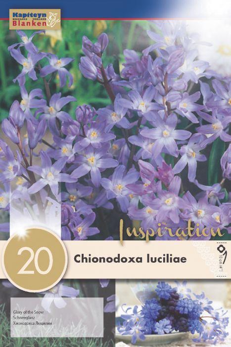 Syyskukkasipuli Isokevättähti Chinodoxa Luciliae 20 kpl