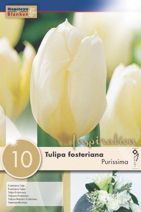 Syyskukkasipuli Tulppaani Fosteriana Purissima 10 kpl