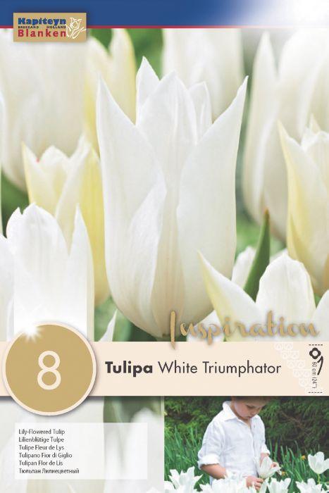 Syyskukkasipuli Tulppaani White Triumphator 8 kpl