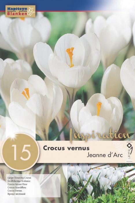 Syyskukkasipuli Krookus Vernus Jeanne d' Arc 15 kpl