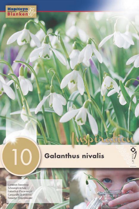 Syyskukkasipuli Lumikello Galanthus Nivalis 10 kpl