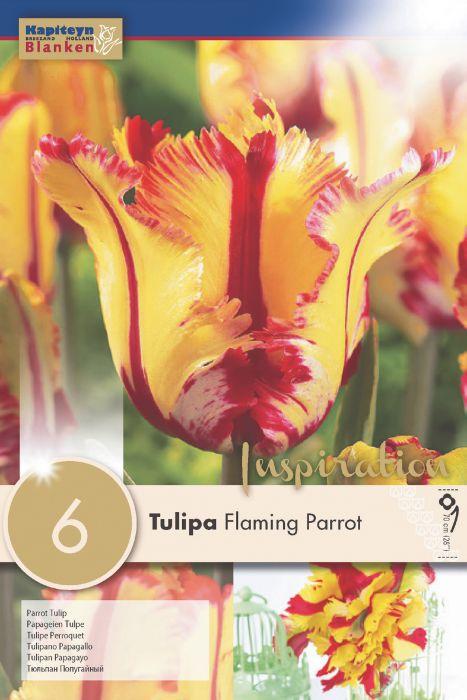 Syyskukkasipuli Tulppaani Flaming Parrot 6 kpl