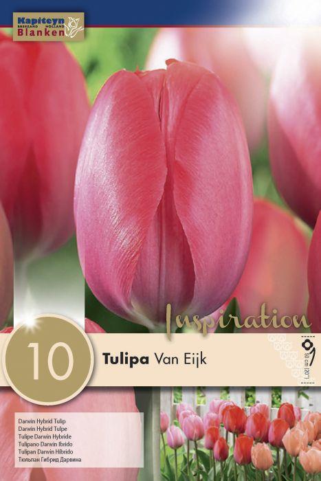 Syyskukkasipuli Tulppaani Darwin Hybrid Van Eijk 10 kpl