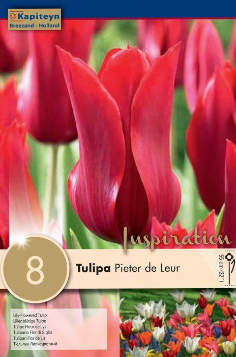 Syyskukkasipuli Tulppaani Pieter de Leur 8 kpl