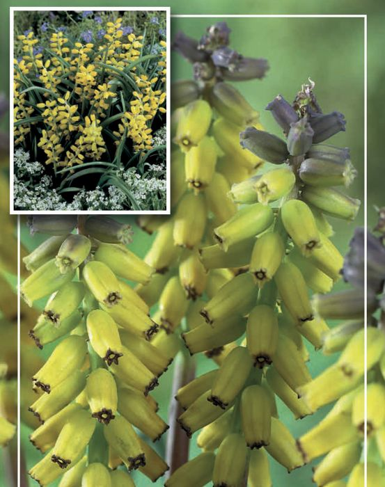 Syyskukkasipuli Myskihelmililja Muscari Muscarimi Golden Fraga 4 kpl
