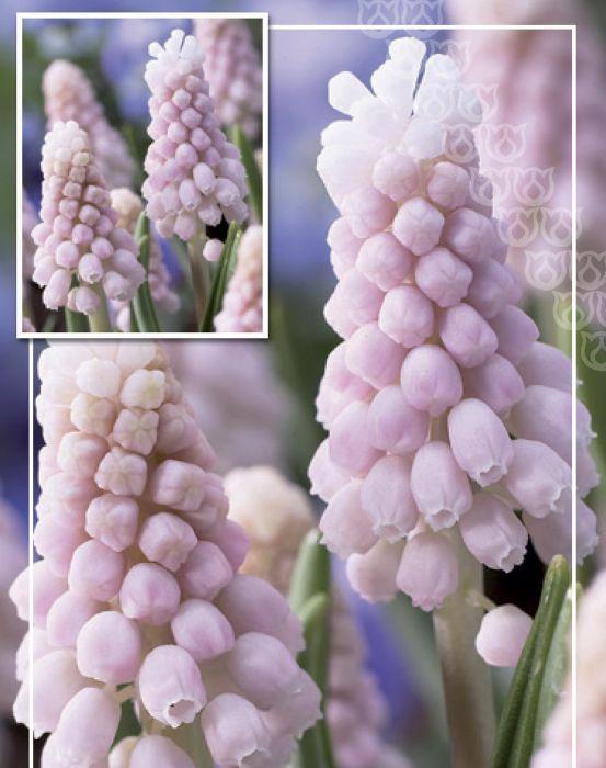 Syyskukkasipuli Helmililja Muscari Pink Sunrise 4 kpl