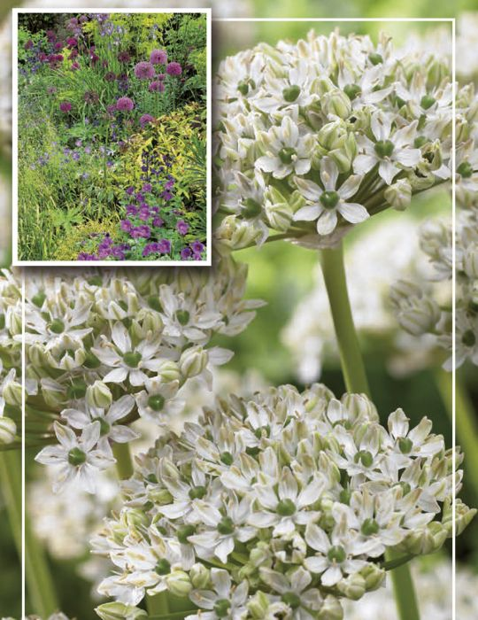 Syyskukkasipuli Mustalaukka Allium Nigrum 8 kpl
