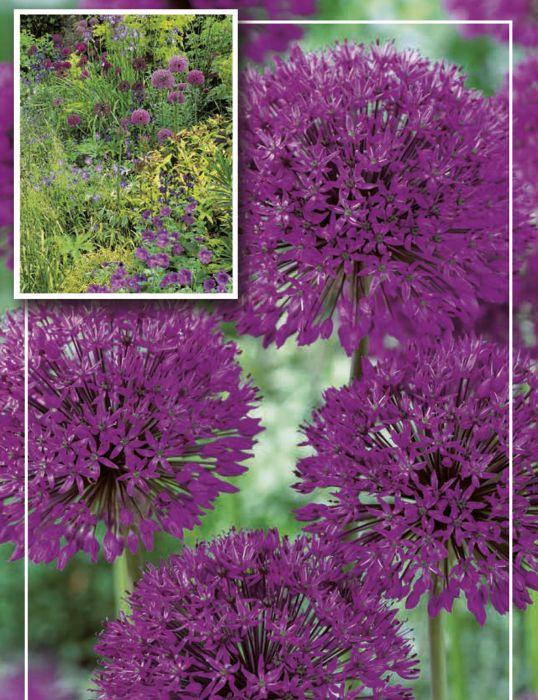 Syyskukkasipuli Ukkolaukka Allium Aflatunense Purple 8 kpl