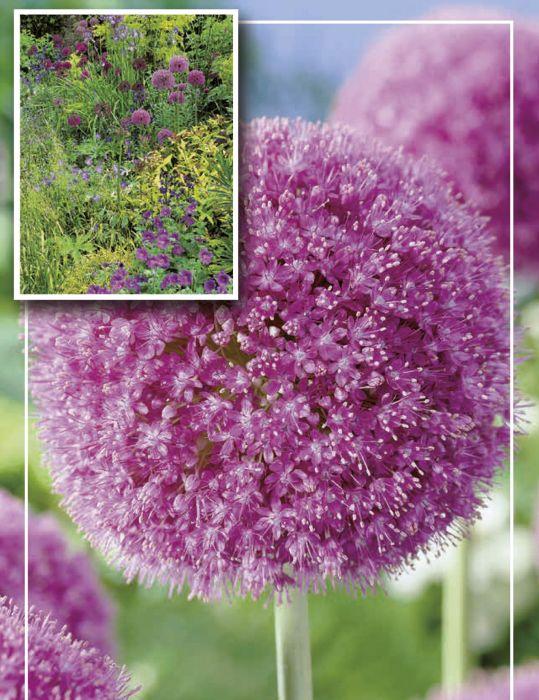 Syyskukkasipuli Jättilaukka Allium Giganteum 1 kpl