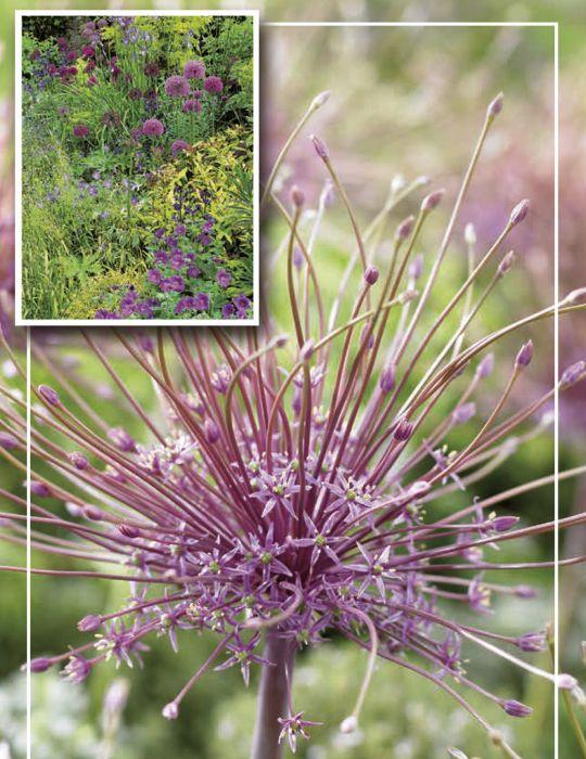 Syyskukkasipuli Palestiinanlaukka Allium Schubertii 4 kpl